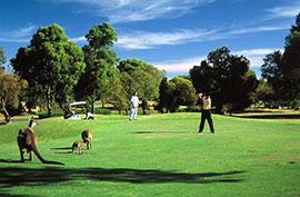 澳洲:袋鼠做球童 和高球皇帝同享挥杆之乐