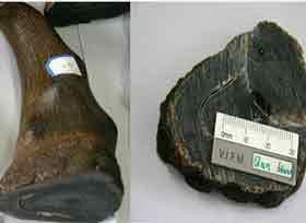 英国博物馆假犀角失窃