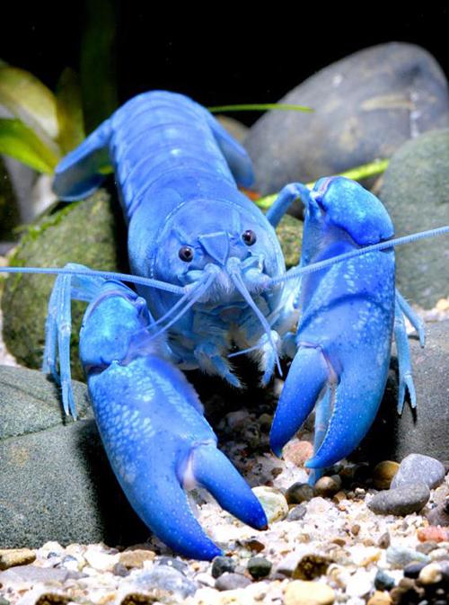 奢侈顶级的布列塔尼蓝龙虾